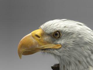 dmytro-teslenko-eagle-model-3d-art-belogolovyi-orlan-ptitsa.jpg